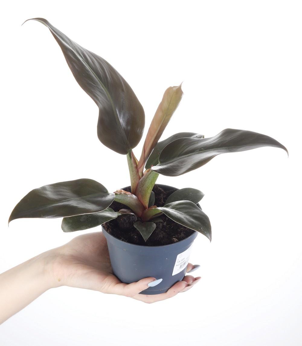 Zdjęcie sadzonki Philodendron selloum 'Hope'