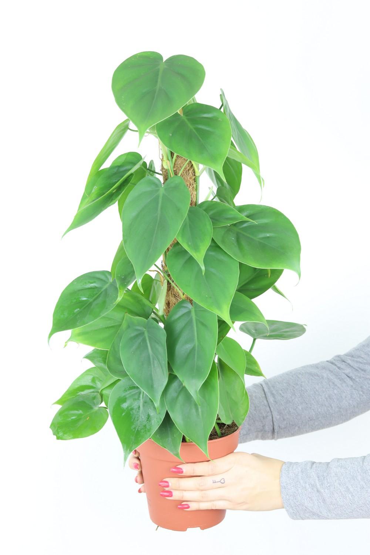 Zdjęcie sadzonki Filodendronu pnącego