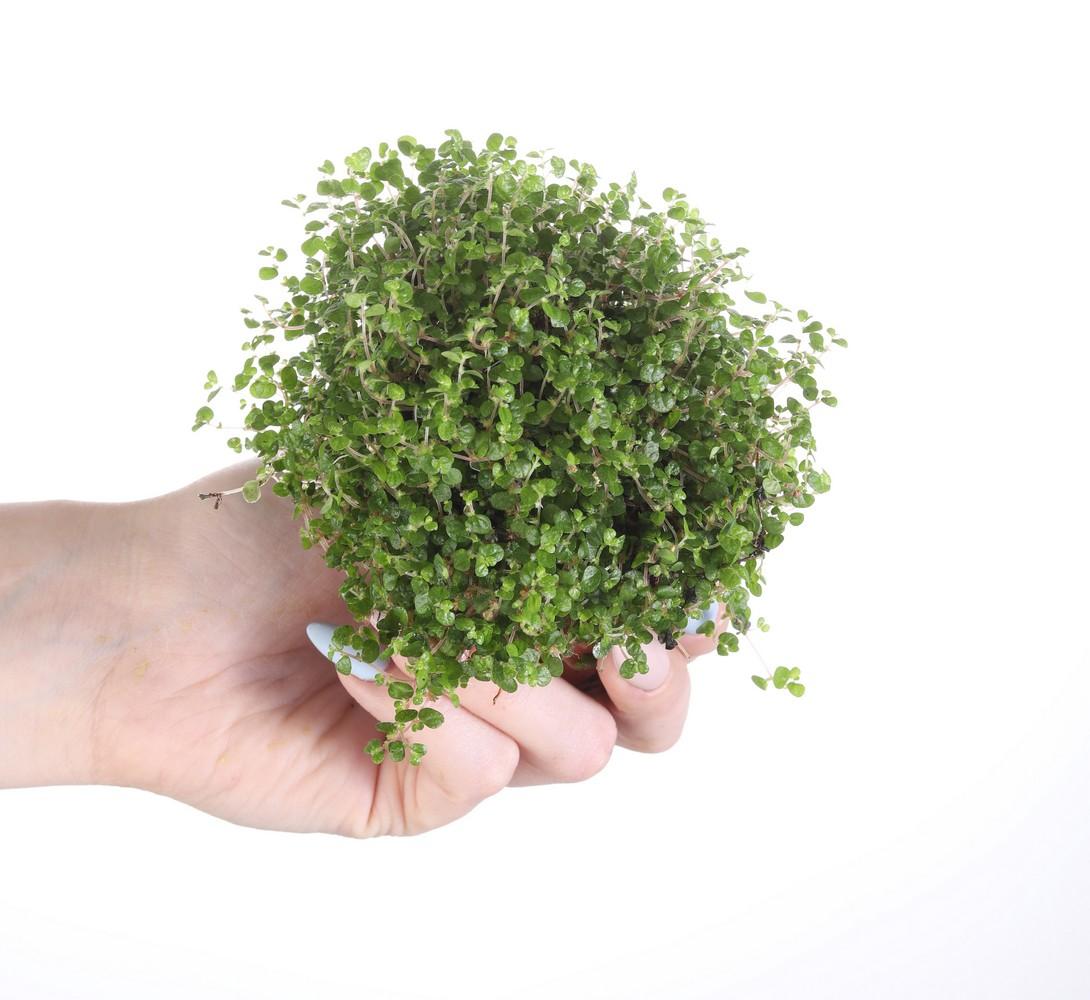 Pilea peperomioides 'Variegata'