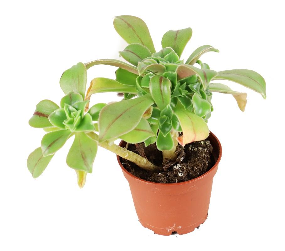 Zdjęcie sadzonki Aeonium leucoblepharum