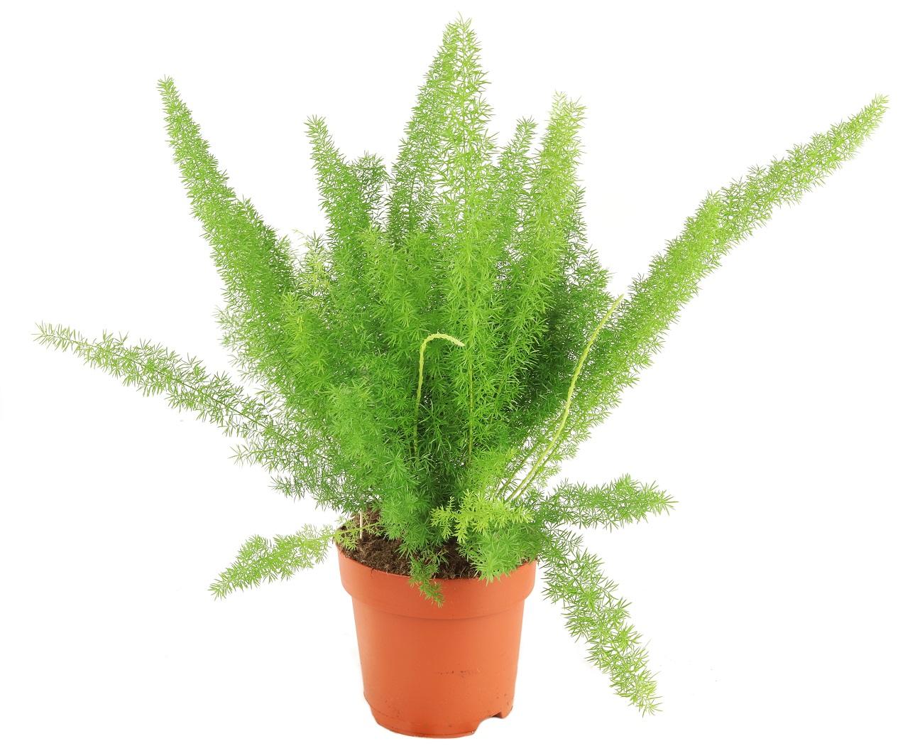 Zdjęcie sadzonki Asparagusa 'Meyers'