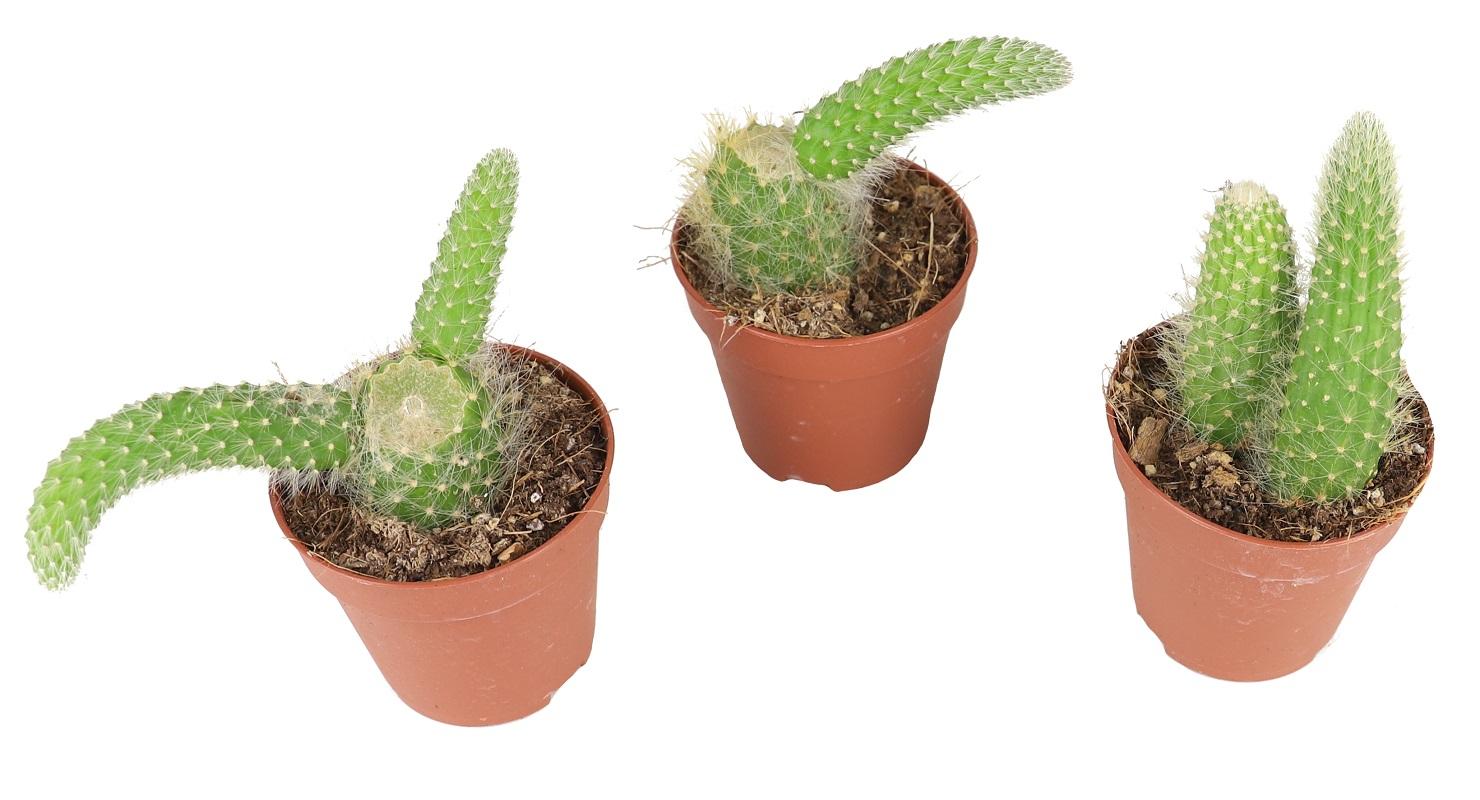 Zdjęcie sadzonki Cleistocactusa colademononis