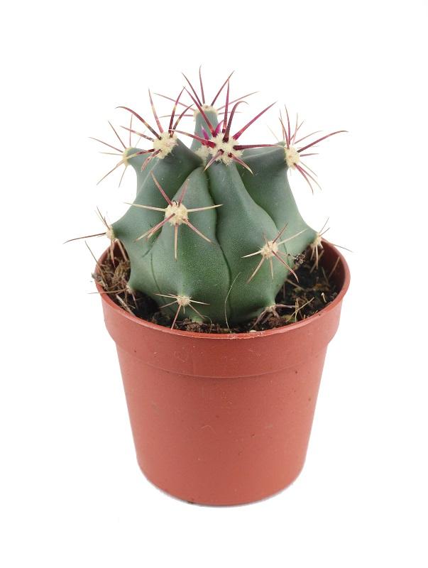 Ferocactus covillei