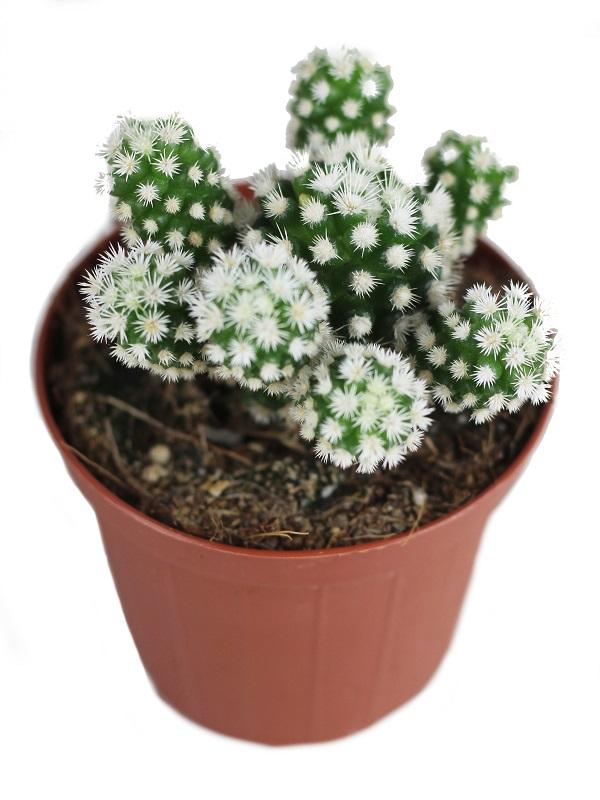 Mammillaria gracilis arizona snowcap