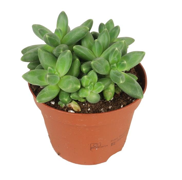 Zdjęcie sadzonki Pachyphytum comapctum