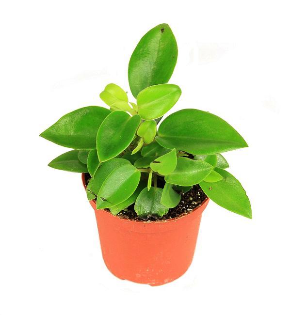 https://zielony-parapet.pl/allegro/zdjecia_sadzonek/peperomia_maculosa_s.jpg