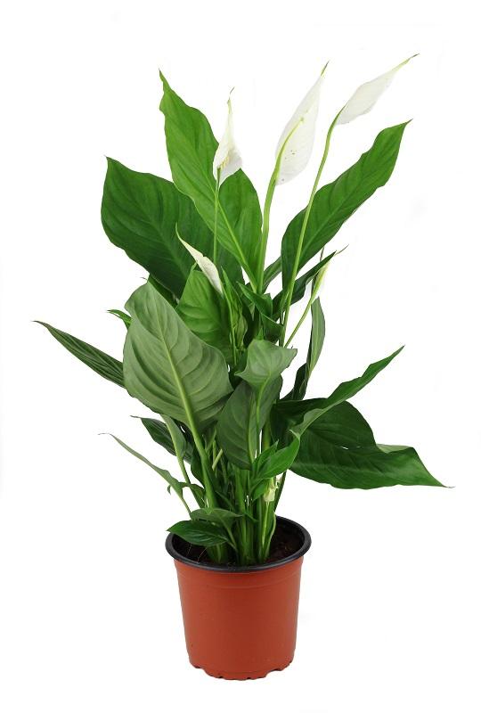 Zdjęcie sadzonki Spathiphyllum 'Sweet Silvio'
