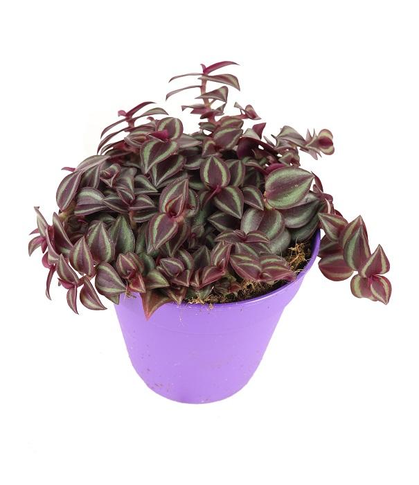 Tradescantia Purple Passion