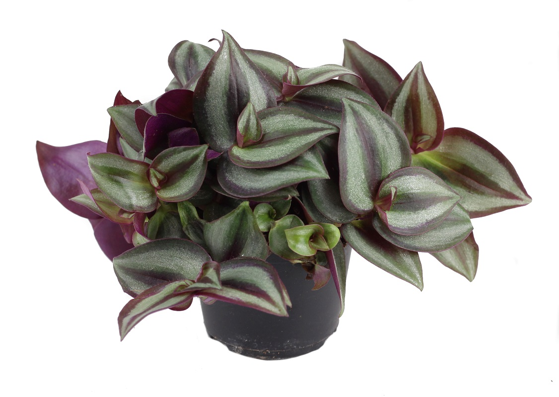 Tradescantia Purple Passion