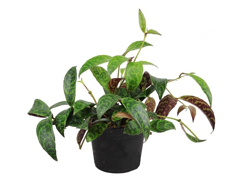 Zdjęcie sadzonki aeschynanthus marmoratus