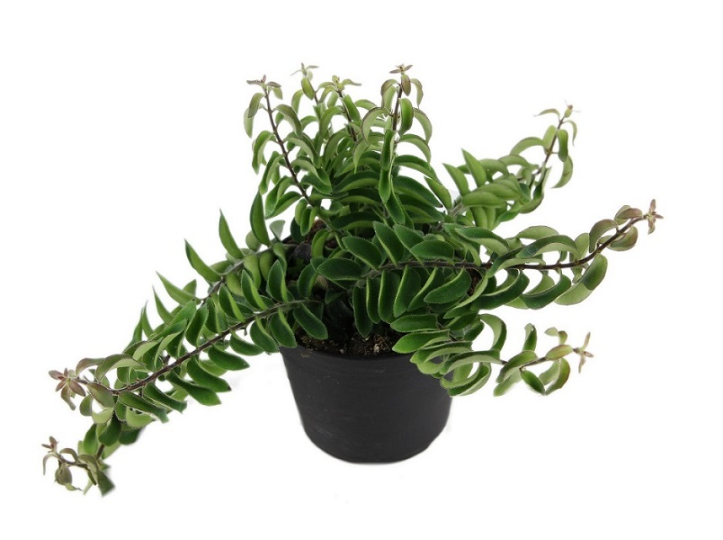 Aeschynanthus 'Twister'