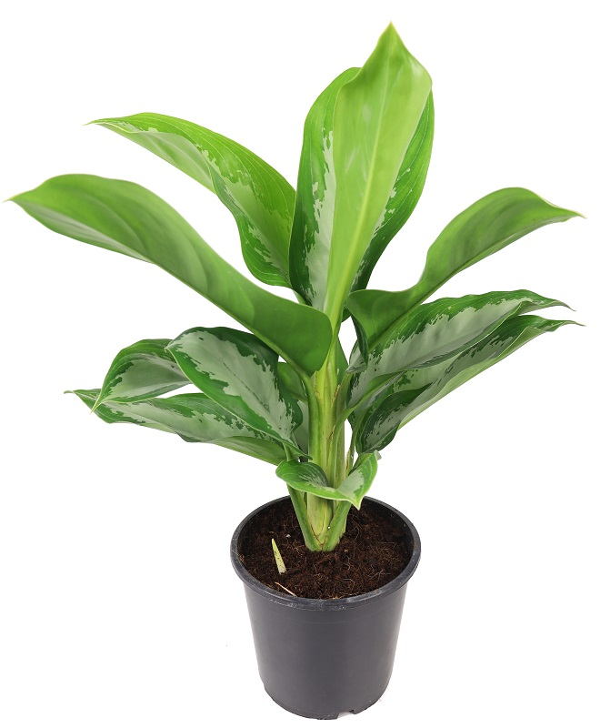 Aglaonema 'Green Bowl'