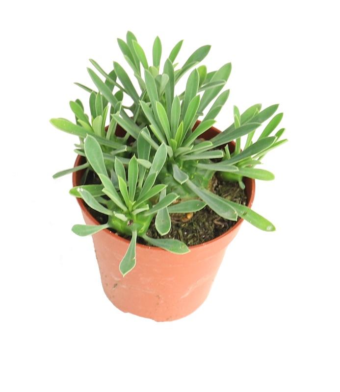 https://zielony-parapet.pl/allegro/zdjecia_sadzonek/euphorbia_susanea_bupleurifolia5.jpg