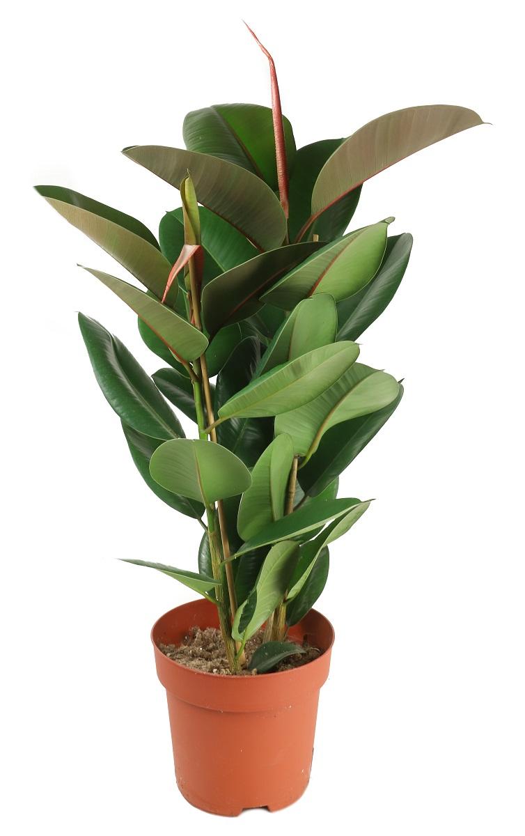 Zdjęcie sadzonki Ficusa sprężystego 'Robusta'