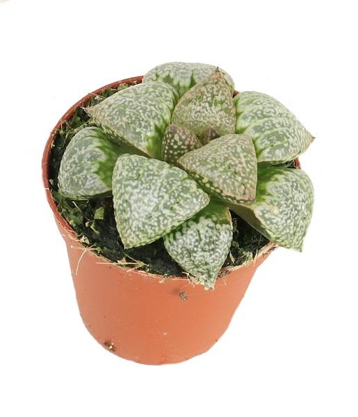 https://zielony-parapet.pl/allegro/zdjecia_sadzonek/haworthia_limifolia_5.jpg