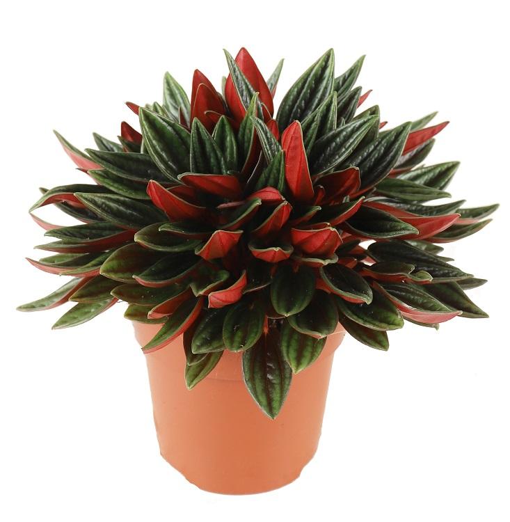 Peperomia 'Rosso'