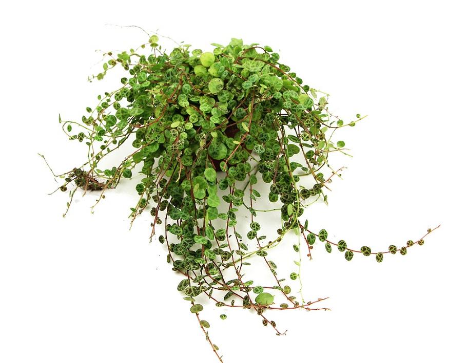 https://zielony-parapet.pl/allegro/zdjecia_sadzonek/peperomia_prostrata9.jpg