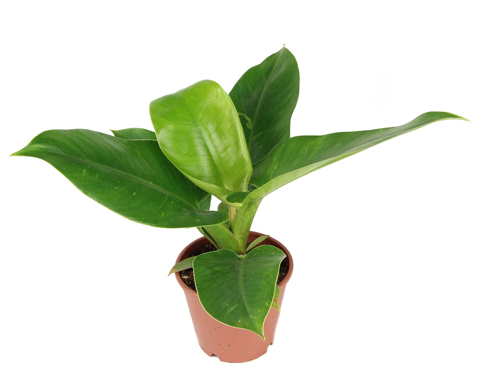 Zdjęcie sadzonki Philodendron 'Imperial Red'