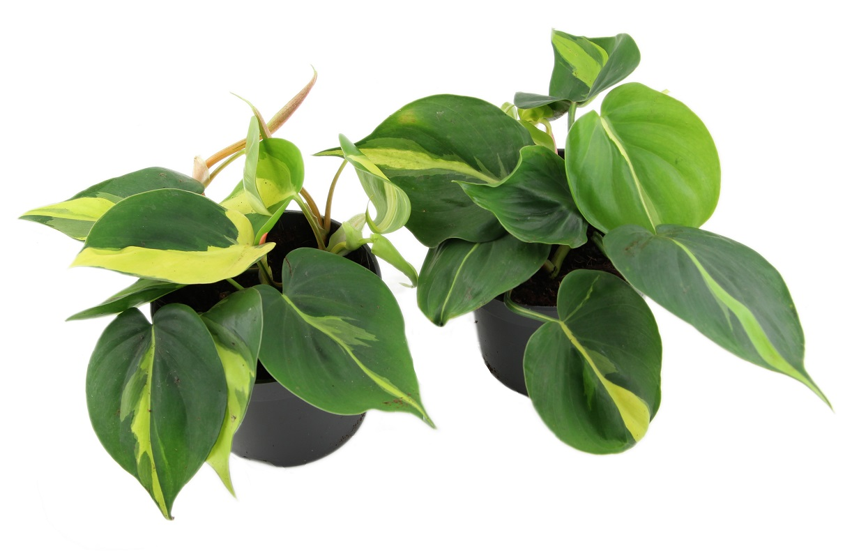 Zdjęcie sadzonki Philodendron scandens 'Brasil'