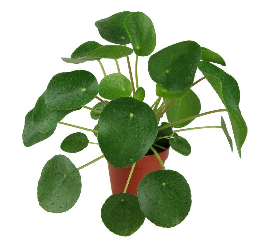 Zdjęcie sadzonki Pilea peperomioides