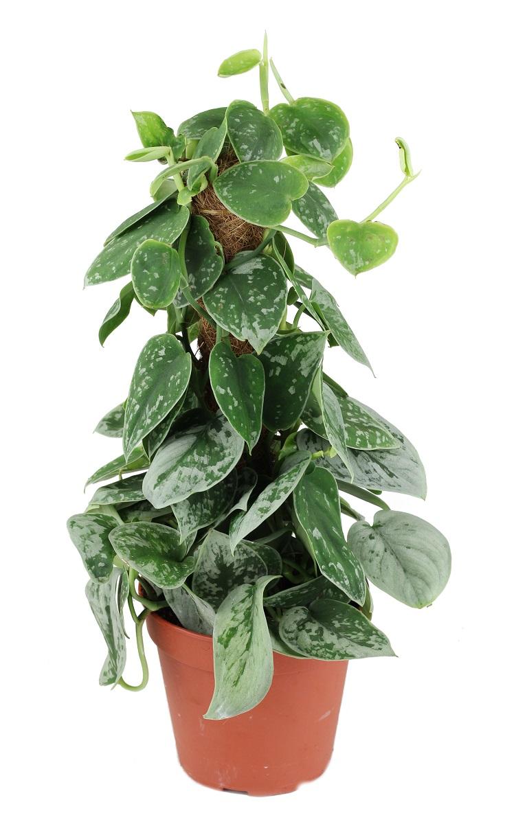 Zdjęcie sadzonki Scindapsus Pictus Silvery Ann