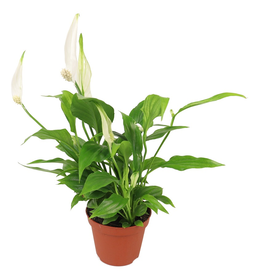 Skrzydłokwiat 'Pearl Cupido'