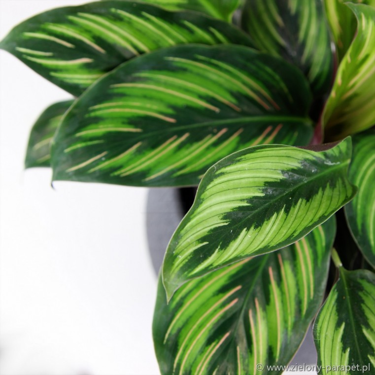 Calathea 'Beauty Star'